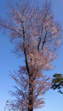 置き場の山桜が満開です。