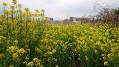 畑の菜の花が満開です。