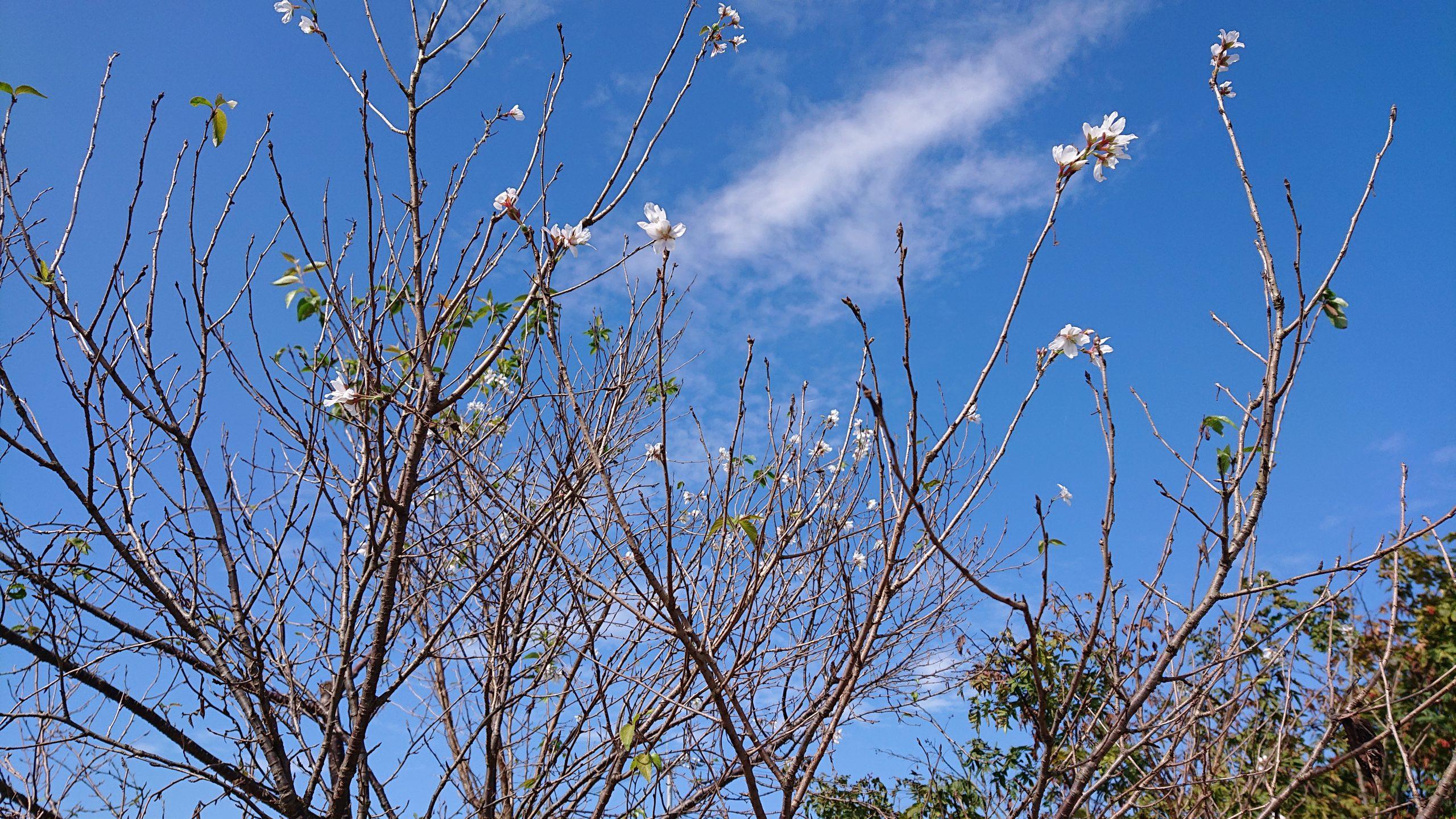 この時期に資材置き場の山桜が咲いていました!